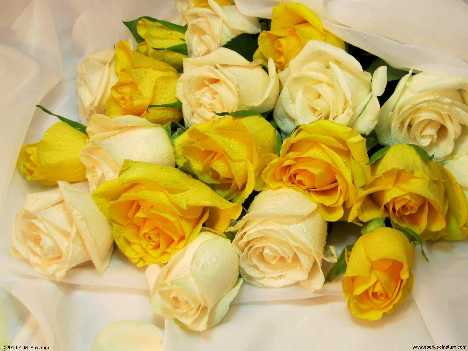 Free desktop wallpapers flowers 21345 1600x1200 for Cream rose wallpaper